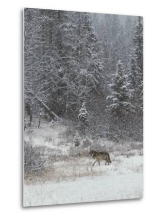 Gray Wolf, Canis Lupus, Walks in a Wintry Snow-Filled Landscape-Jim And Jamie Dutcher-Metal Print
