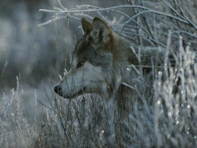 Gray Wolf, Canis Lupus, Peeks Out of a Weed Thicket-Jim And Jamie Dutcher-Framed Photographic Print