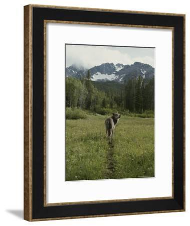 Gray Wolf, Canis Lupus, Crosses a Mountain Meadow on a Worn Path-Jim And Jamie Dutcher-Framed Photographic Print