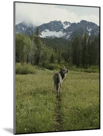 Gray Wolf, Canis Lupus, Crosses a Mountain Meadow on a Worn Path-Jim And Jamie Dutcher-Mounted Photographic Print