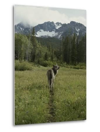 Gray Wolf, Canis Lupus, Crosses a Mountain Meadow on a Worn Path-Jim And Jamie Dutcher-Metal Print
