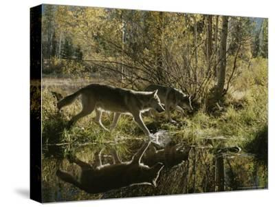 Two Gray Wolves, Canis Lupus, Cross a Small Woodland Pond-Jim And Jamie Dutcher-Stretched Canvas Print