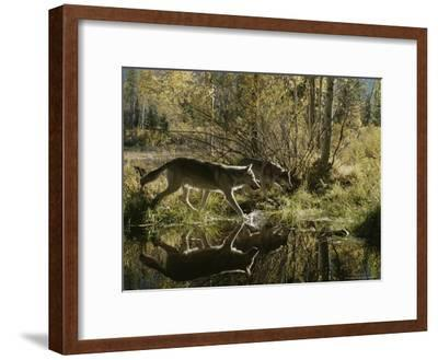 Two Gray Wolves, Canis Lupus, Cross a Small Woodland Pond-Jim And Jamie Dutcher-Framed Photographic Print