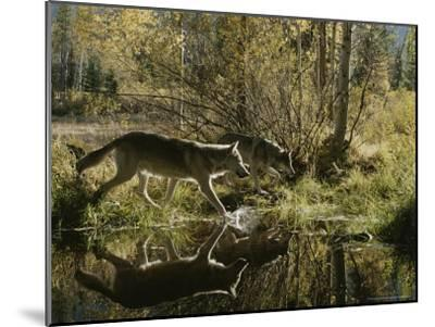 Two Gray Wolves, Canis Lupus, Cross a Small Woodland Pond-Jim And Jamie Dutcher-Mounted Photographic Print
