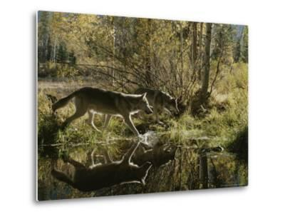 Two Gray Wolves, Canis Lupus, Cross a Small Woodland Pond-Jim And Jamie Dutcher-Metal Print