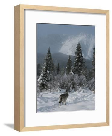 Gray Wolf, Canis Lupus, Passes Through a Snowy Mountain Landscape-Jim And Jamie Dutcher-Framed Photographic Print