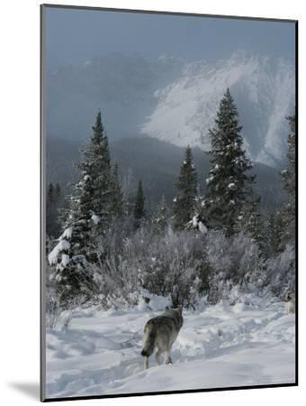 Gray Wolf, Canis Lupus, Passes Through a Snowy Mountain Landscape-Jim And Jamie Dutcher-Mounted Photographic Print