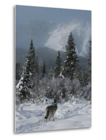 Gray Wolf, Canis Lupus, Passes Through a Snowy Mountain Landscape-Jim And Jamie Dutcher-Metal Print