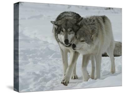 Two Gray Wolves, Canis Lupus, Pal Around in a Snowy Landscape-Jim And Jamie Dutcher-Stretched Canvas Print