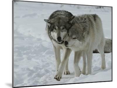 Two Gray Wolves, Canis Lupus, Pal Around in a Snowy Landscape-Jim And Jamie Dutcher-Mounted Photographic Print