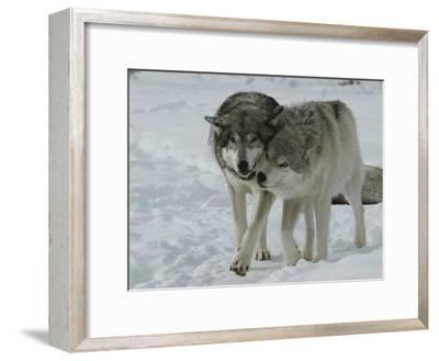 Two Gray Wolves, Canis Lupus, Pal Around in a Snowy Landscape-Jim And Jamie Dutcher-Framed Photographic Print
