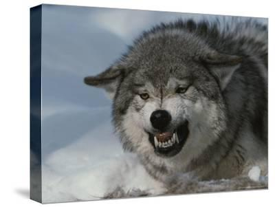 An Alpha Gray Wolf, Canis Lupus, Snarls and Bares Teeth at a Kill-Jim And Jamie Dutcher-Stretched Canvas Print