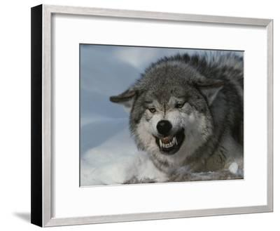 An Alpha Gray Wolf, Canis Lupus, Snarls and Bares Teeth at a Kill-Jim And Jamie Dutcher-Framed Photographic Print