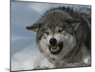 An Alpha Gray Wolf, Canis Lupus, Snarls and Bares Teeth at a Kill-Jim And Jamie Dutcher-Mounted Photographic Print