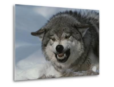 An Alpha Gray Wolf, Canis Lupus, Snarls and Bares Teeth at a Kill-Jim And Jamie Dutcher-Metal Print