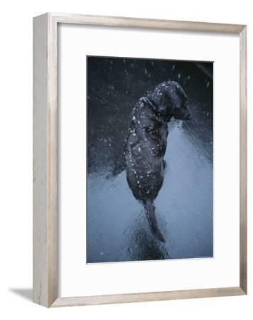 Black Lab Named Blackie Sits on Blacktop During a Snow Shower-Bill Curtsinger-Framed Photographic Print