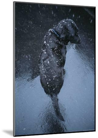 Black Lab Named Blackie Sits on Blacktop During a Snow Shower-Bill Curtsinger-Mounted Photographic Print