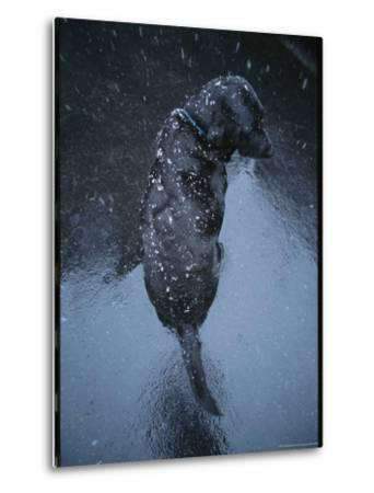 Black Lab Named Blackie Sits on Blacktop During a Snow Shower-Bill Curtsinger-Metal Print