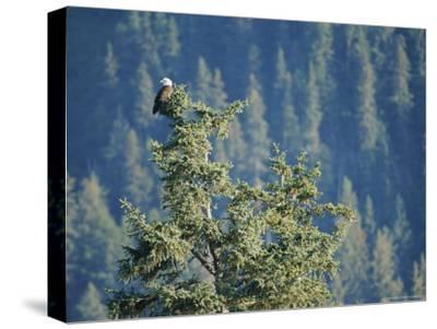 Bald Eagle Perched Atop a Tree in Seward, Alaska-Rich Reid-Stretched Canvas Print