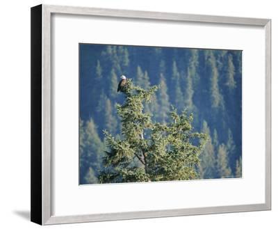 Bald Eagle Perched Atop a Tree in Seward, Alaska-Rich Reid-Framed Photographic Print