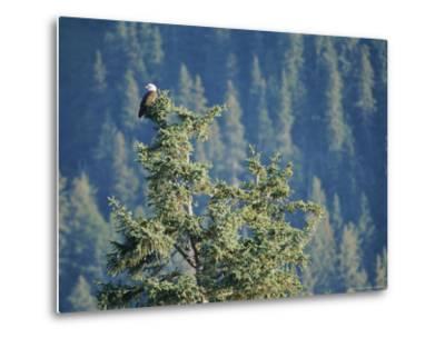 Bald Eagle Perched Atop a Tree in Seward, Alaska-Rich Reid-Metal Print