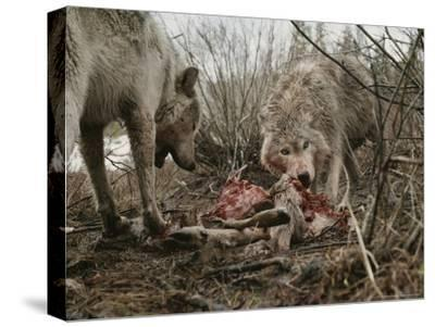 Couple of Gray Wolves, Canis Lupus, Feast on a Mule Deer Carcass-Jim And Jamie Dutcher-Stretched Canvas Print