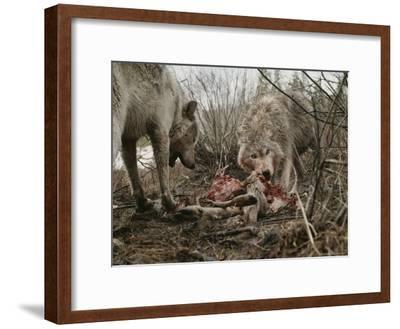Couple of Gray Wolves, Canis Lupus, Feast on a Mule Deer Carcass-Jim And Jamie Dutcher-Framed Photographic Print