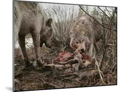 Couple of Gray Wolves, Canis Lupus, Feast on a Mule Deer Carcass-Jim And Jamie Dutcher-Mounted Photographic Print