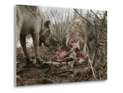 Couple of Gray Wolves, Canis Lupus, Feast on a Mule Deer Carcass-Jim And Jamie Dutcher-Metal Print