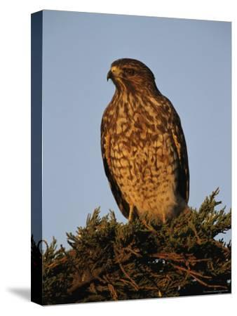 Portrait of a Red Shouldered Hawk-Roy Toft-Stretched Canvas Print