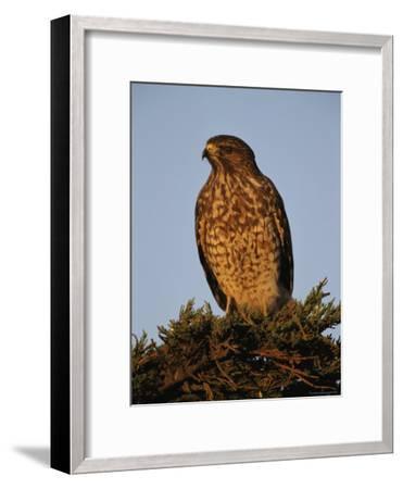 Portrait of a Red Shouldered Hawk-Roy Toft-Framed Photographic Print