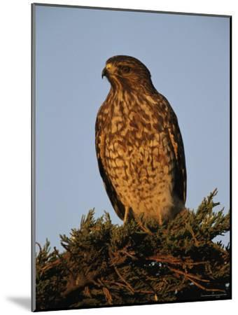 Portrait of a Red Shouldered Hawk-Roy Toft-Mounted Photographic Print
