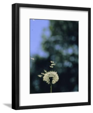 Sunlight Catches Wind-Blown Dandelion Seeds as They Fly From the Stem-Norbert Rosing-Framed Photographic Print