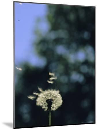 Sunlight Catches Wind-Blown Dandelion Seeds as They Fly From the Stem-Norbert Rosing-Mounted Photographic Print