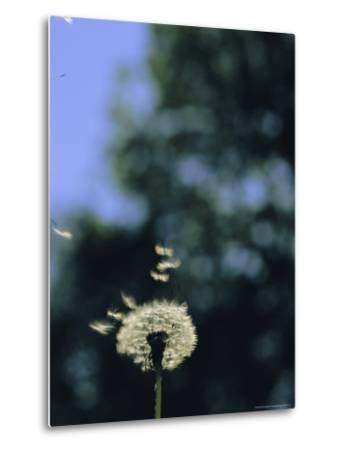 Sunlight Catches Wind-Blown Dandelion Seeds as They Fly From the Stem-Norbert Rosing-Metal Print