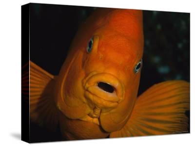 Portrait of a Garibaldi Fish-Tim Laman-Stretched Canvas Print