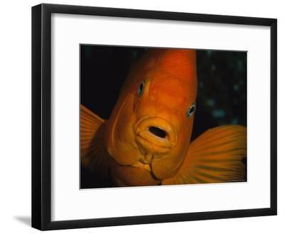 Portrait of a Garibaldi Fish-Tim Laman-Framed Photographic Print