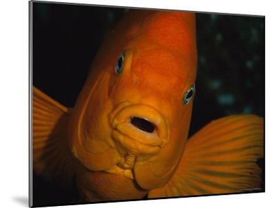 Portrait of a Garibaldi Fish-Tim Laman-Mounted Photographic Print