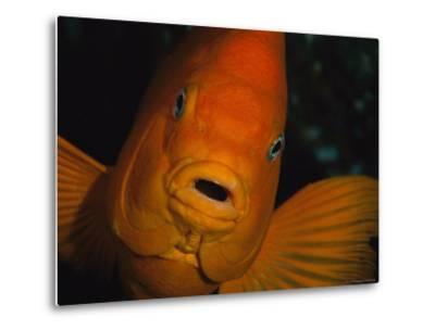 Portrait of a Garibaldi Fish-Tim Laman-Metal Print