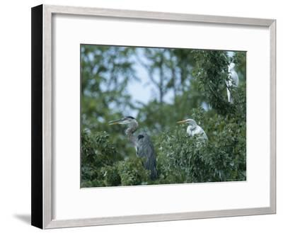 Great Blue Heron and Great White Egrets-George Grall-Framed Photographic Print