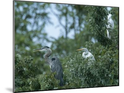 Great Blue Heron and Great White Egrets-George Grall-Mounted Photographic Print