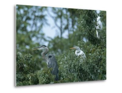 Great Blue Heron and Great White Egrets-George Grall-Metal Print