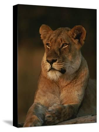 Lion Strikes a Restful Pose in Afternoon Sun-Kim Wolhuter-Stretched Canvas Print