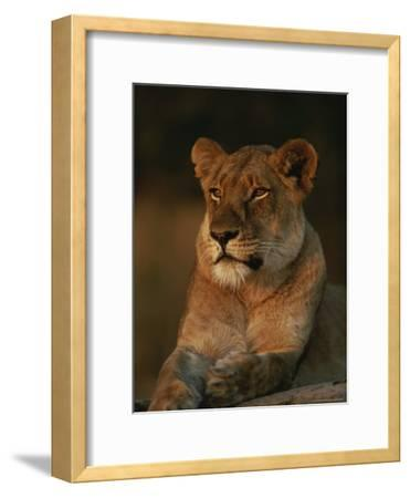 Lion Strikes a Restful Pose in Afternoon Sun-Kim Wolhuter-Framed Photographic Print