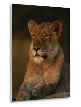Lion Strikes a Restful Pose in Afternoon Sun-Kim Wolhuter-Metal Print