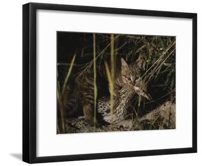An African Wild Cat Kitten Holds a Bird in Its Jaws-Kim Wolhuter-Framed Photographic Print