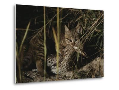 An African Wild Cat Kitten Holds a Bird in Its Jaws-Kim Wolhuter-Metal Print
