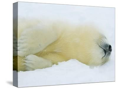 Harp Seal Pup Sleeps in the Snow-Norbert Rosing-Stretched Canvas Print