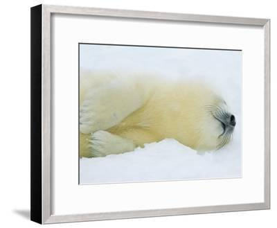 Harp Seal Pup Sleeps in the Snow-Norbert Rosing-Framed Photographic Print