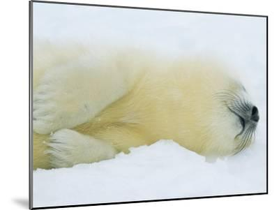 Harp Seal Pup Sleeps in the Snow-Norbert Rosing-Mounted Photographic Print
